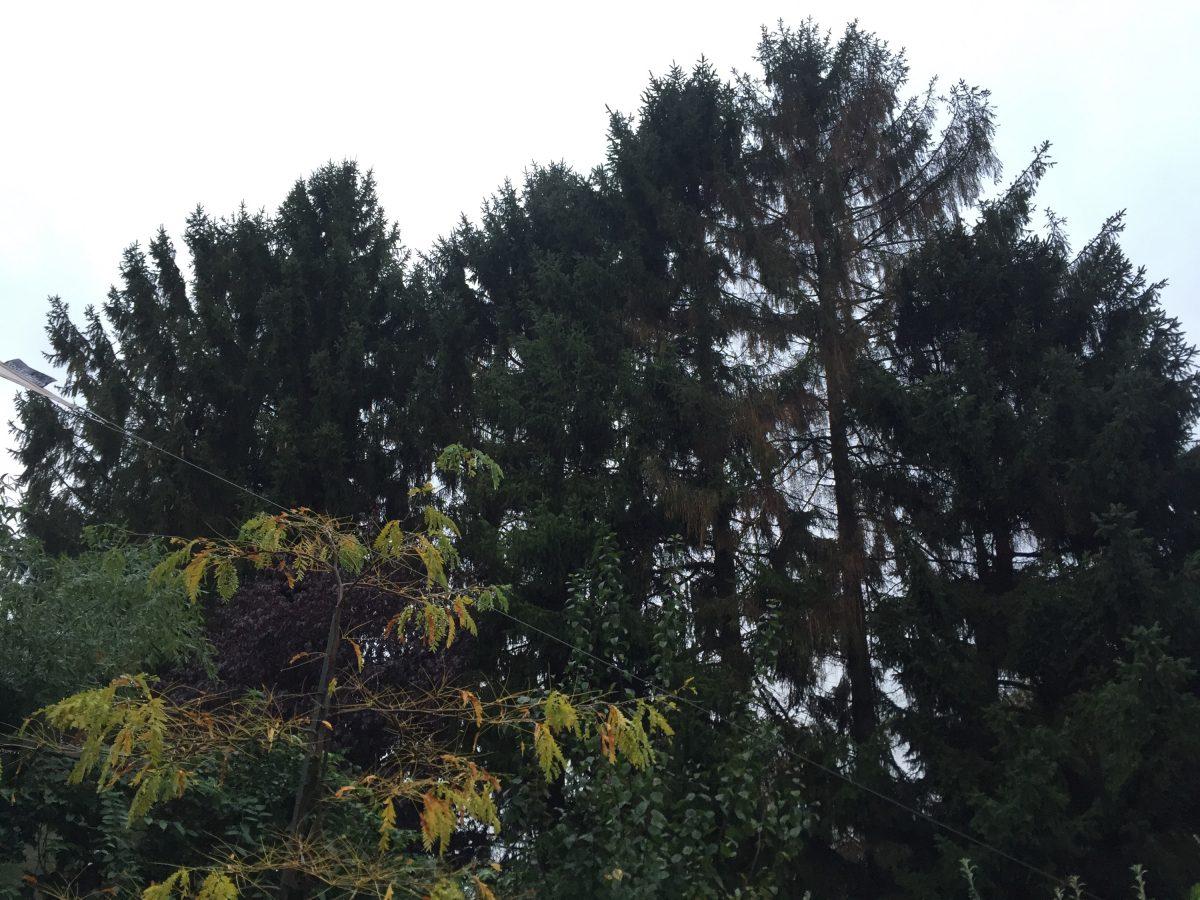 Fällung Baum Fichte
