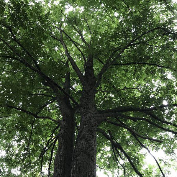 Kronenpflege totholzpflege